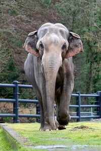 Packy, the Oregon Zoo's famous bull asian elephant, born in 1962. - Oregon Zoo Image Library