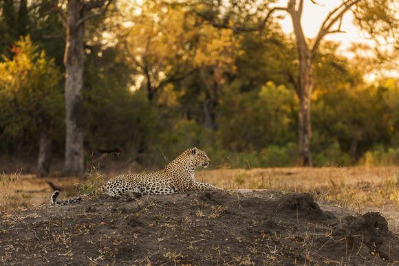 Leopard - I named this image - (Sabi Sands Leopard) - copyrighted - bruna@thrumyafricanlens.co.za