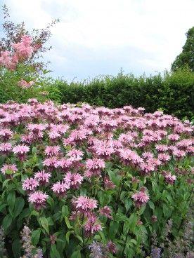 Monarda 'Elsie's Lavender' - Bergamotplant