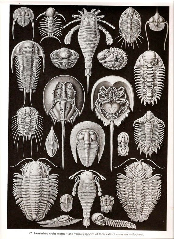 Ernst Haeckel JELLYFISH Art Print Vintage by NaturalistCollection