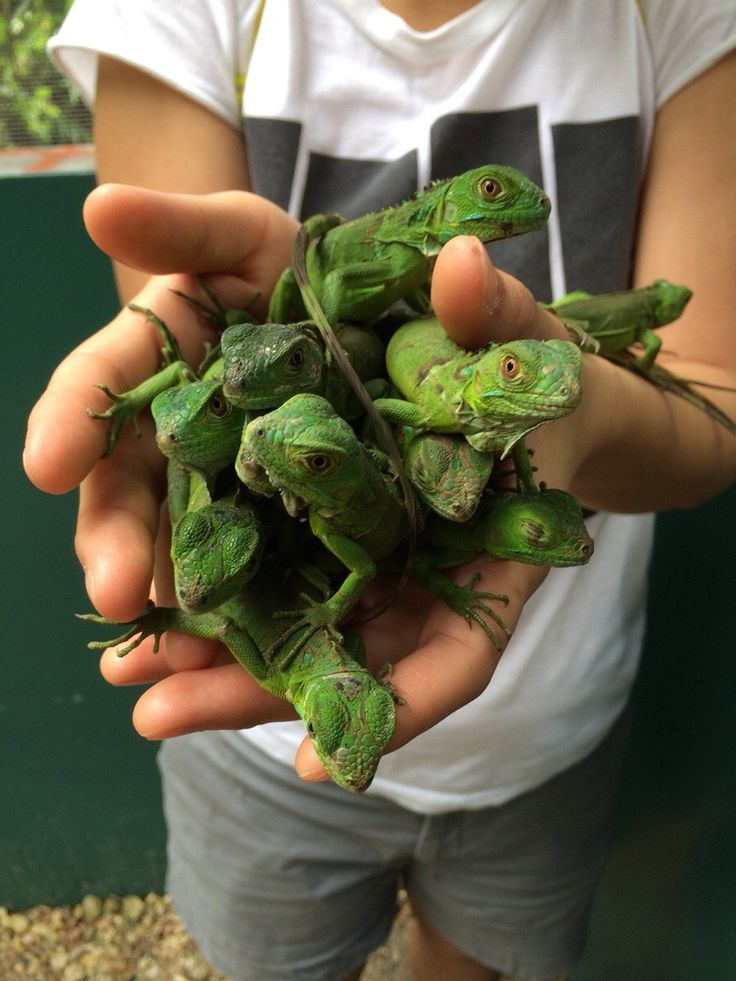 A handful of iguanas!  Love these babies.  Too easy to forget each one will be over 5 feet long when fully grown - with lotsa teeth and claws - and beady eyes and scales!  Love them!