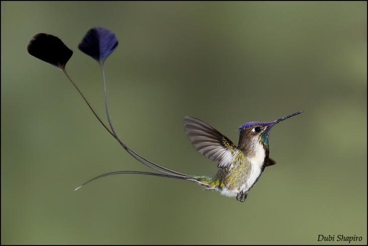 Marvellous Spatuletail (Loddigesia mirabilis)      Male in Flight