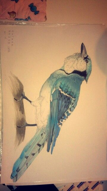 My blue jay draw