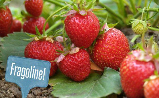 Oltre 20 migliori idee su coltivare fragole su pinterest - Giardinieri in affitto consigli ...