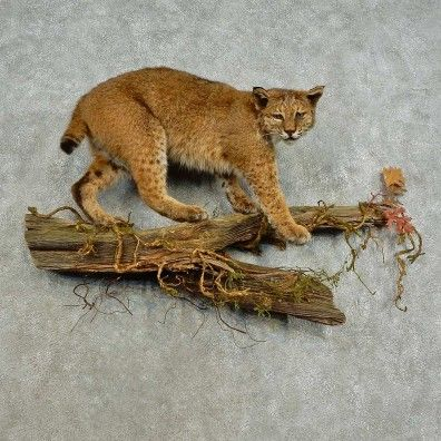 This awesome bobcat taxidermy mount is for sale @thetaxidermystore.com