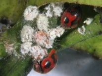 Adultos de Rodolia cardinalis alimentándose de cochinilla.  5. Biología Los adultos ponen los huevos junto a la cochinilla acanalada y las larvas al emerger se alimentan de los huevos y ninfas de la cochinilla. Depreda tanto en estado adulto como de larva. 6. Presa  principal Cochinilla acanalada (Icerya purhasi)