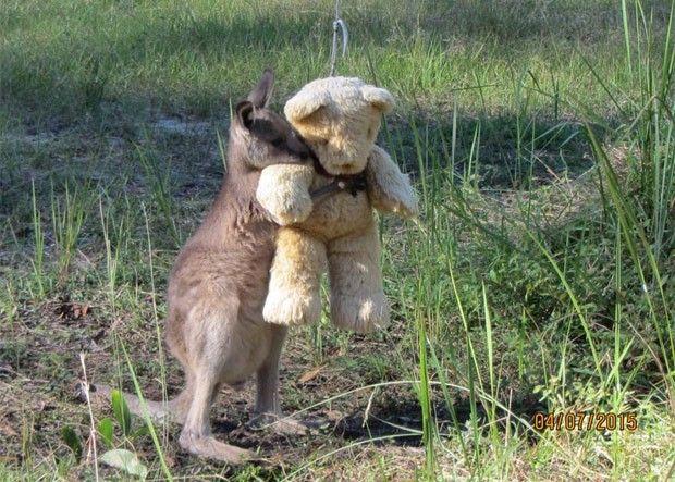 Foto de canguru órfão abraçando ursinho de pelúcia vira hit na web (Foto: Reprodução/Twitter/Tim Beshara)