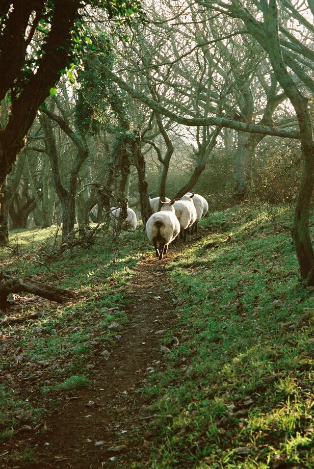 sheep on a South Downs Woodland path in winter Sussex, England, photo Liza Brown.