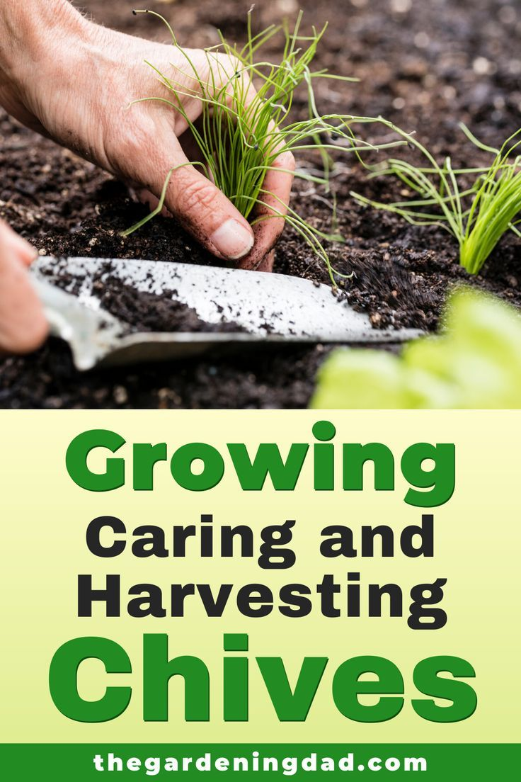10 Proven Tips How To Grow Chives The Gardening Dad Growing Chives Chives Chives Plant