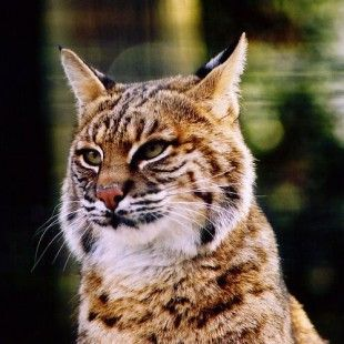 Save the Iberian Lynx from Extinction