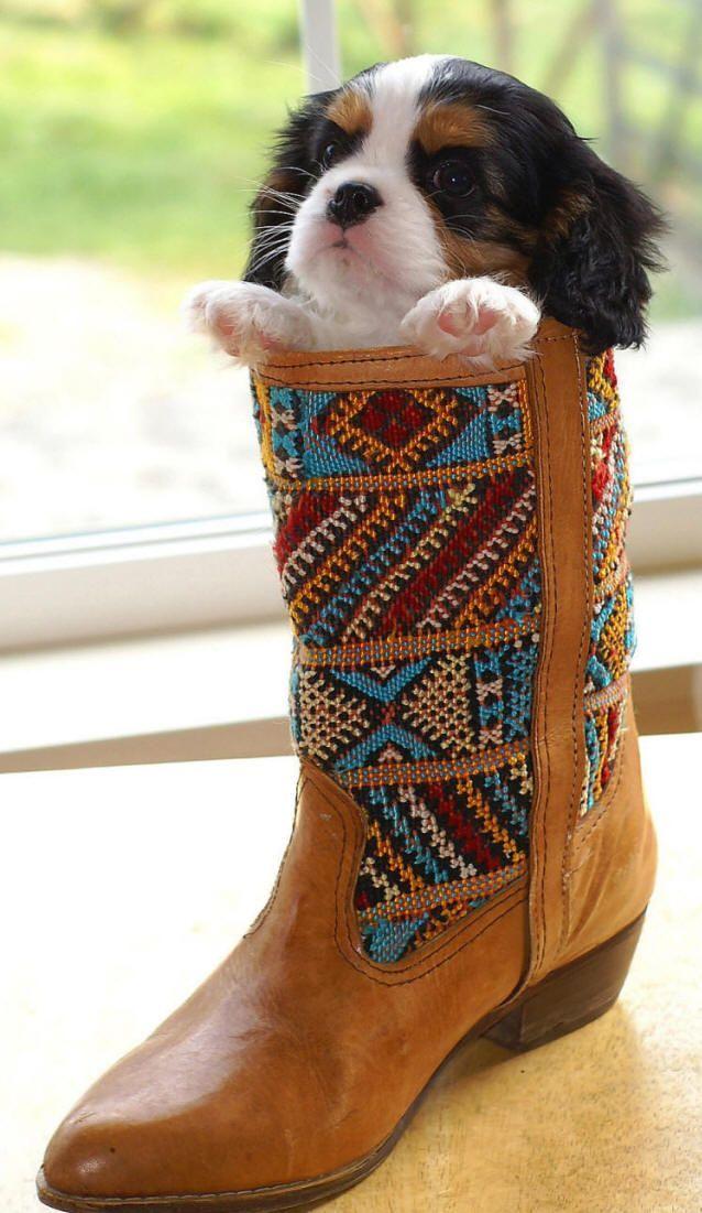 Alem de tudo,a bota e bonita!: Cowboy Boots, Pets Animals, Dogs Puppies, Boots Yo, Puppy Boots, King Charles Cavalier, Cavalier Puppy, Boot Puppy