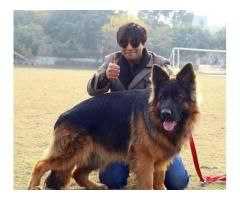 Big Long haired Gsd Of pak available for stud SALE