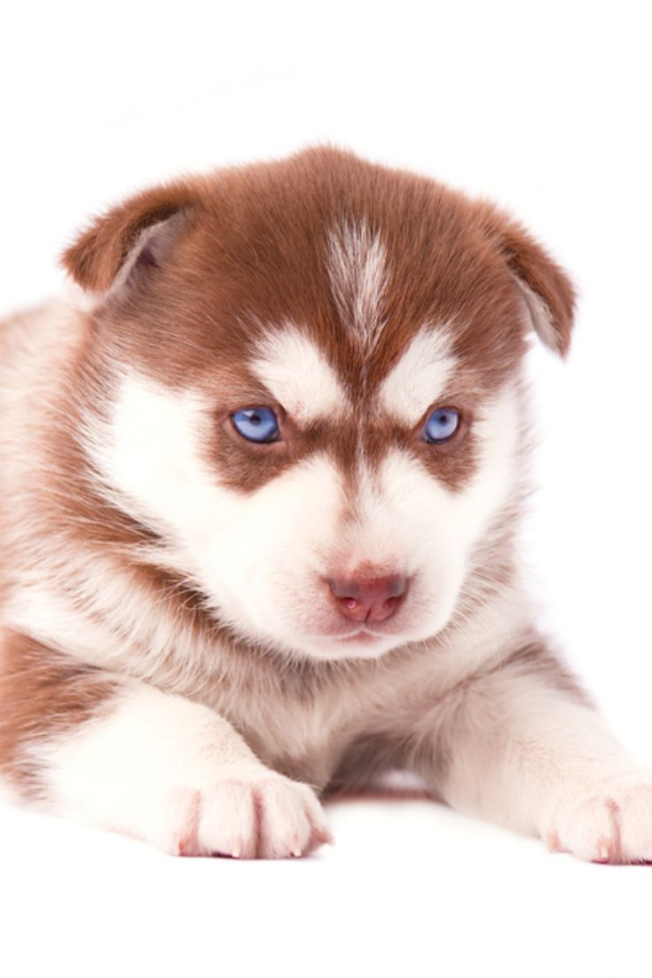 Brown husky puppy with blue eyes isolated on white
