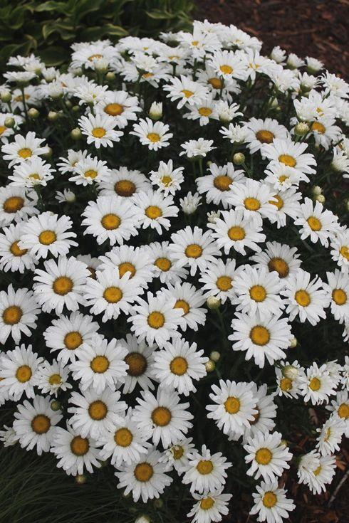 Leucanthemum x superbum 'Daisy Duke' PP 21,914 (Daisy Duke Shasta Daisy)