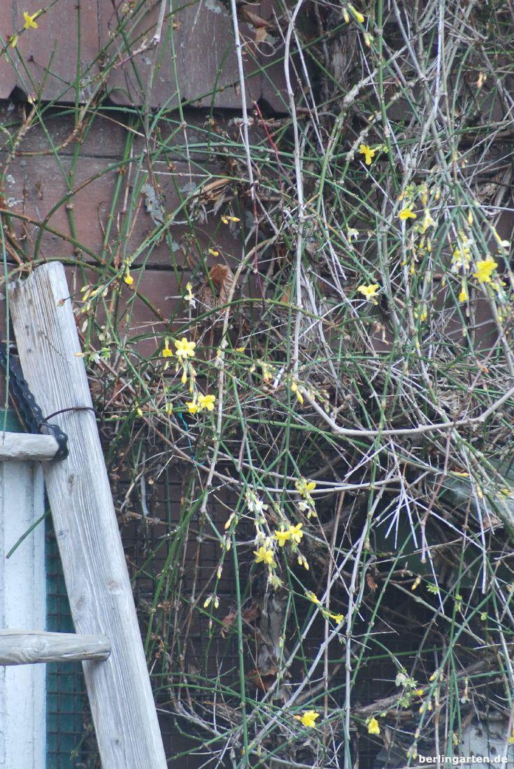 Der Winterjasmin leuchtet in gelb, wenn sonst nichts blüht im Garten. Eine tolle Rankpflanze für den Winter bzw. die ganze kalte Jahreszeit