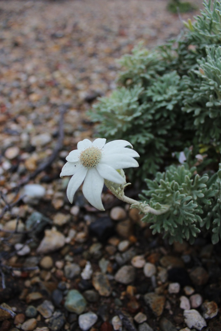 Beautiful Flannel flower today at Catherine Hill Bay