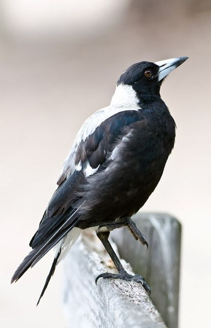 Australian Magpie - southern type with more white on back.