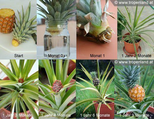 ananas selbst ziehen pflanzen pinterest anzuchtset. Black Bedroom Furniture Sets. Home Design Ideas