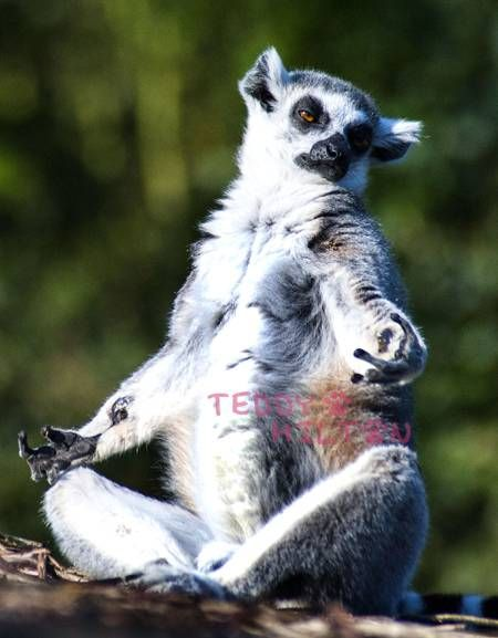 meditating lemur: Hot Yoga, Funny Animal Pics, Inner Peace,  Lemurs Catta, Photo, Meditation Lemurs, Madagascar Cat,  Ring-Tail Lemurs, Yoga Lemurs