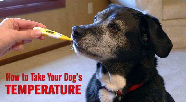 How to Take Your Dog's Temperature by @chasingdogtales