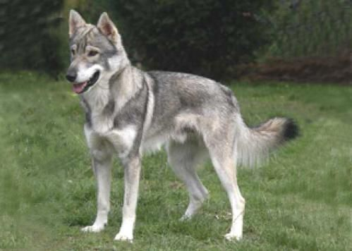 Tamaskan Dog -  this is my NEW dream dog- sometime in my life I want to own one!