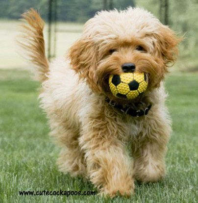 Apricot Cockapoo Puppy pal Pinterest Chang'e 3