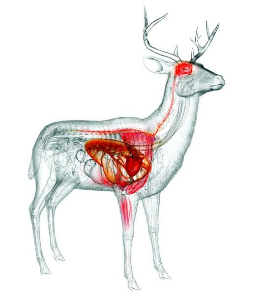 Where to Shoot a Deer for One-Shot Kills -Posted on July 04, 2013