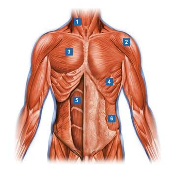 1.Kopfnicker (Musculus sternocleidomastoideus)  2.Deltamuskel (Musculus deltoideus)  3.großer Brustmuskel (Musculus pectoralis major)  4.vorderer Sägemuskel (Musculus serratus anterior)  5.gerader Bauchmuskel (Musculus rectus abdominis)  6.schräger äußerer Bauchmuskel (Musculus obliquus externus abdominis)