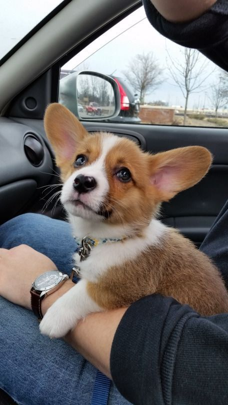 OCD: Obsessive Corgi Disorder, Corgi Puppy, Dog, Pet, Big Floppy Ears