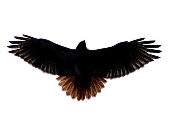 red tail hawk | pics for project 1 | Pinterest | Hawks ...
