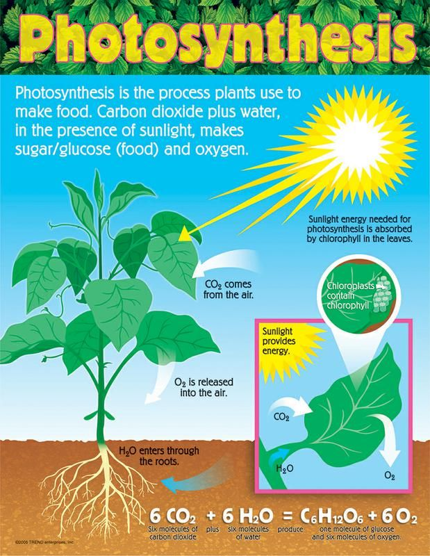 "Take kids through the steps of photosynthesis. Vivid, detailed illustrations. Back of chart features reproducible sheets, activities, and helpful teaching tips. 17"" x 22"" classroom size."