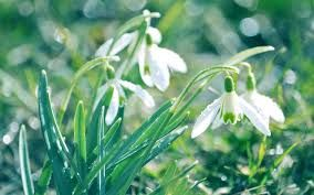 snowdrop flower with bokeh on the background