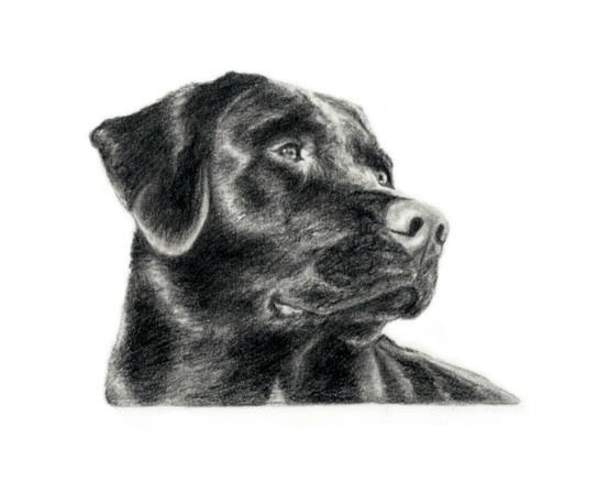 Black #Lab Sketch Hand Drawn Dog Art By Artist Genevieve Schlueter | Sporting Breed Dogs Iu0026#39;ve ...