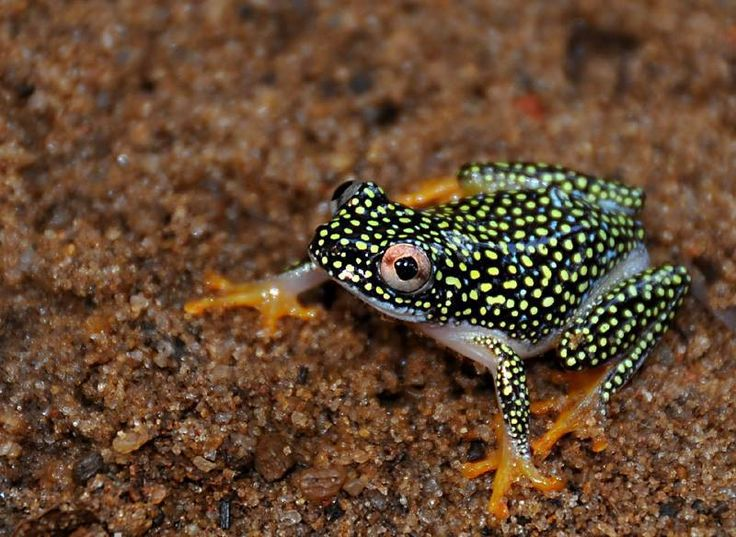 Starry Night Reed Frog, (Heterixalus alboguttatus), another beautiful Madagascar endemic found in lowland shrub forests and wetlands.
