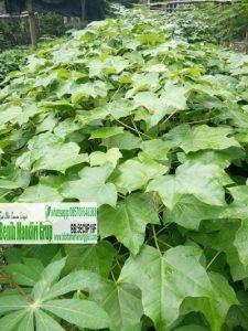 Tips membeli bibit tanaman online ini akan Kami akan informasikan untuk Anda yang akan membeli bibit tanaman seperti tanaman buah. tanaman hias, kayu