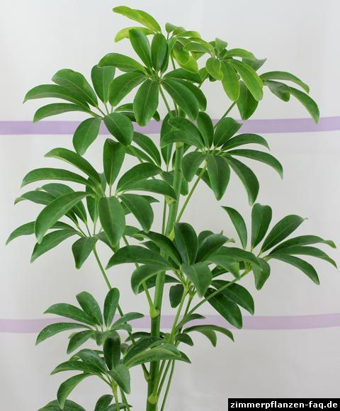 Umbrella Plant Toxic: 124 Best Schefflera Images On Pinterest