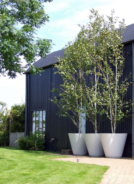 #Large white #planters with Silver birch against a black clad barn in Debden…