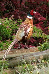 Ring-necked Pheasant Art Print by Frank Townsley