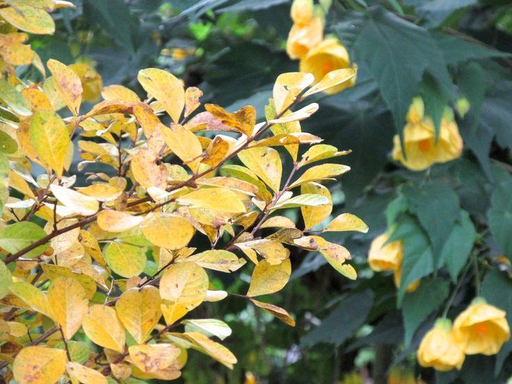 サルスベリの黄葉/黄色いアブチロンの花