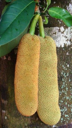Artocarpus integer commonly known as Cempedak is native to southeast Asia, from Indonesia and Malay Peninsula to the island of New Guinea. The fruit is very popular in its native areas.The flesh can be eaten fresh or after being processed. The seeds can be eaten boiled or cooked.