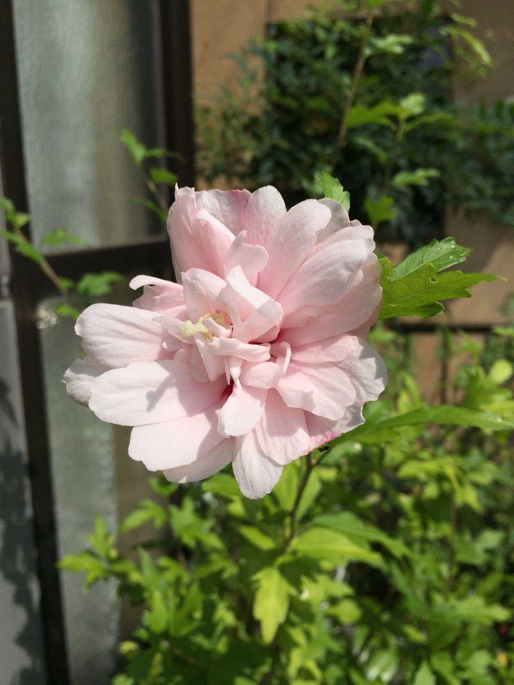ムクゲ Rose of Sharon