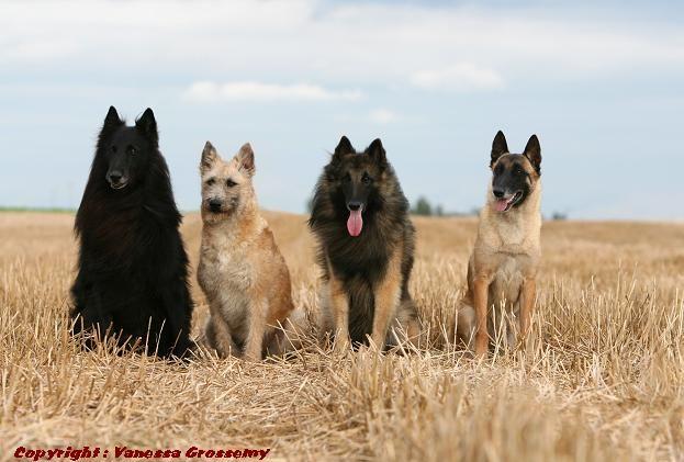De vier Belgische herdershonden, die aan elkaar gerelateerd zijn, naast elkaar. De Groenendaal, de Laekense, de Tervurenaar en de Mechelaar.