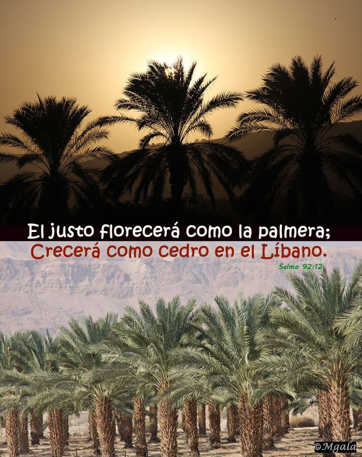 """""""El justo florecerá como la palma, crecerá como cedro en el Líbano."""" (Salmos 92:12) http://www.iglesiapueblonuevo.es/index.php?query=Salmos+92:12&enbiblia=1 #VersiculosParaTodos #Justicia #Bondad #Palmera #Libano #Cedro #BuenArbol #Sombra #Cobijo #Resguardo #Oasis"""