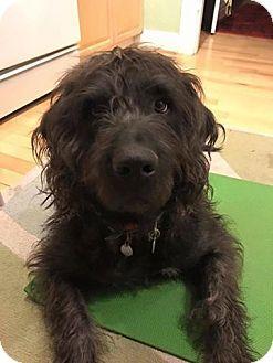 Denver, CO - Newfoundland/Poodle (Standard) Mix. Meet Digby, a dog for adoption. http://www.adoptapet.com/pet/17545560-denver-colorado-newfoundland-mix