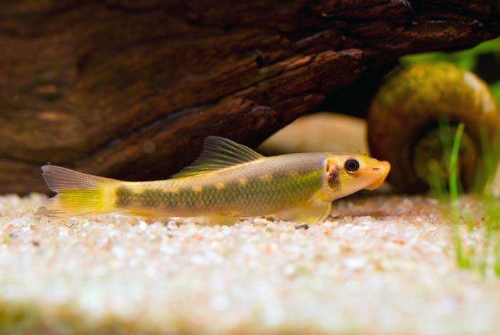 Glonojad syjamski • Glonojady syjamskie, albinos, ryba