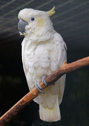 Copyright Free  Picture of Yellow-crested Cockatoo