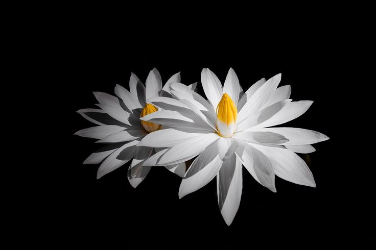 Water Lily by Ronaldo Martins on 500px