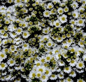 Show details for Easter Daisy