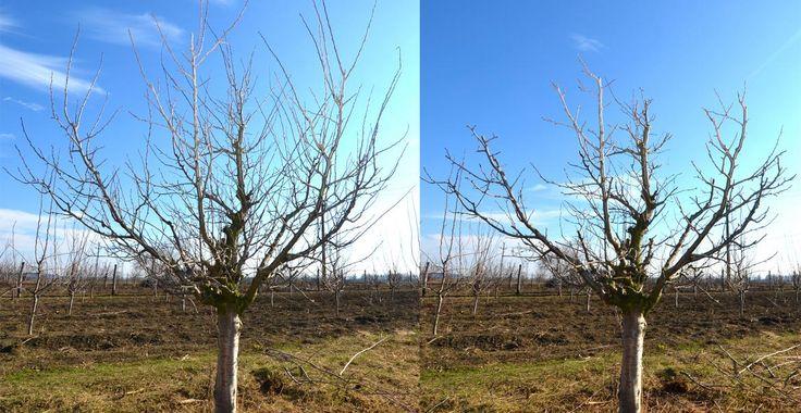 Imagini comparative cu pruni maturi, înainte și după tăieri | Paradis Verde