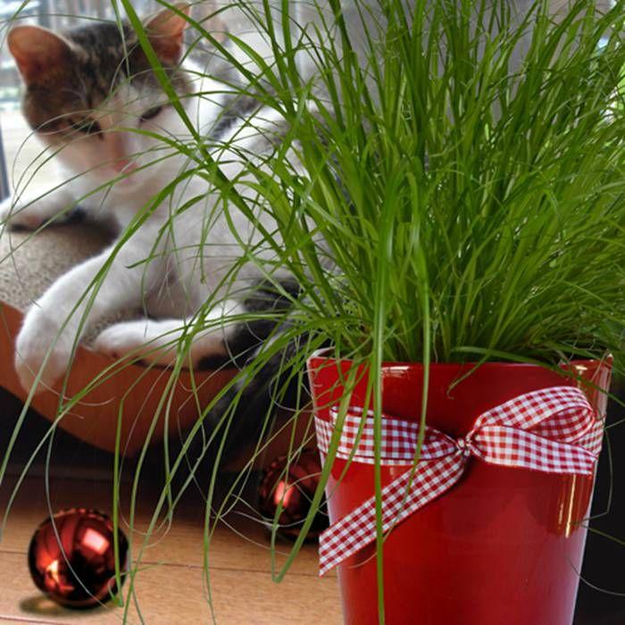 kattengras plant cyperus alternifolius zumula 1 plant kopen veilig online bestellen tuin. Black Bedroom Furniture Sets. Home Design Ideas